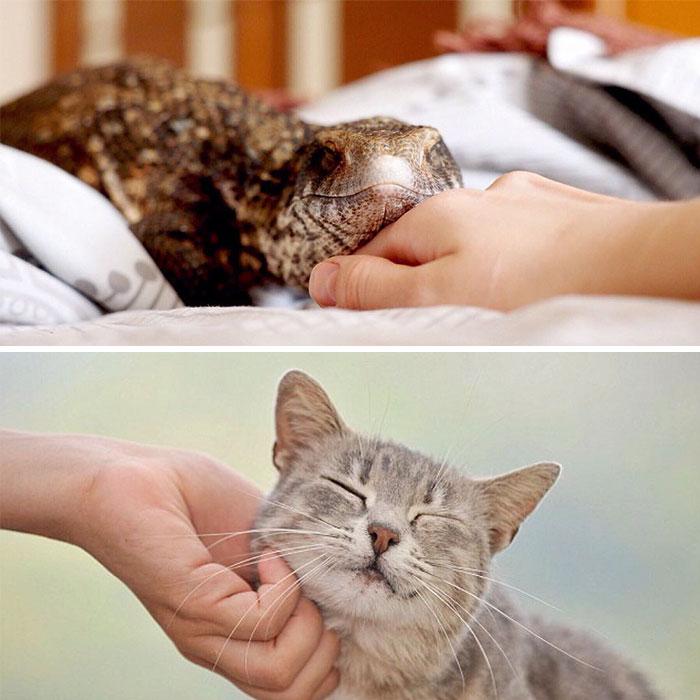 cute-lizard-pet-cuddles-savannah-monitor-astya-lemur-511