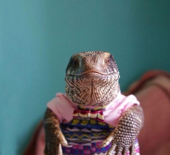 cute-lizard-pet-cuddles-savannah-monitor-astya-lemur-9