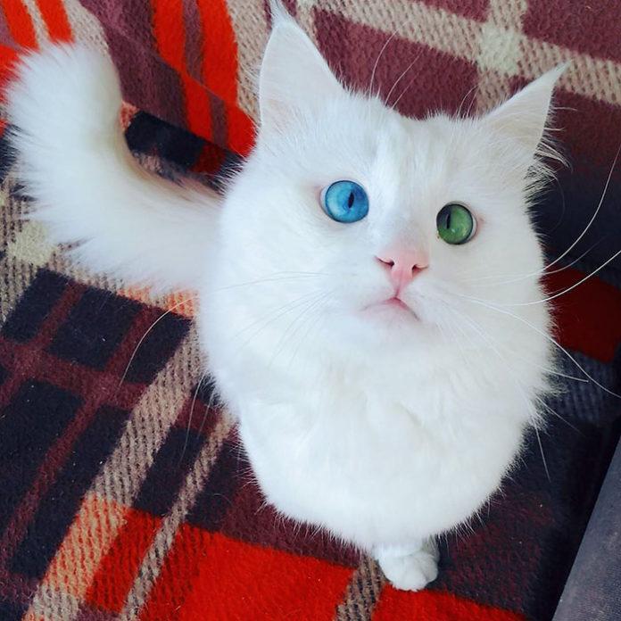 Белоснежный кот имеет самые гипнотизирующие глаза разного цвета