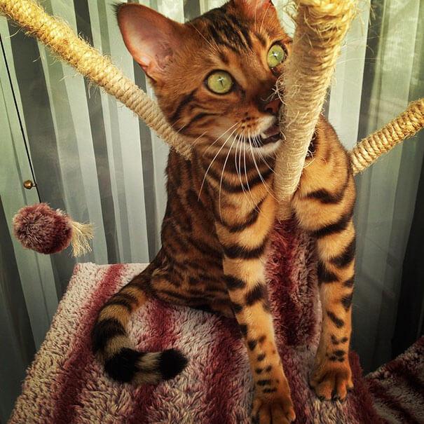 Тор - Бенгальский кот с идеально красивым мехом