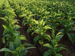 История происхождения табака: Откуда взялся табак и где растет